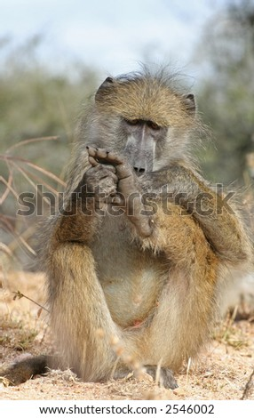 Baboon inspecting its foot