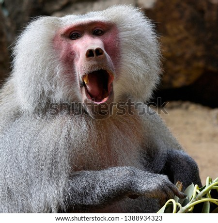Baboon male close up eating
