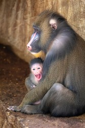 baboon (Mandrillus sphinx) with child shot in natural habitat