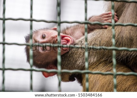 baboon mantle baboon in zoo