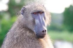 baboon monkey omnivorous mammal herbivore African savannas kruger national park south africa