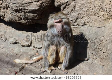 Baboon (Papio hamadryas)