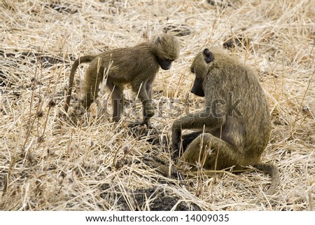 baboon parent and kid found something interesting