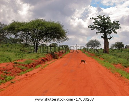 Baboon passes by the way in Tsavo East National Park.