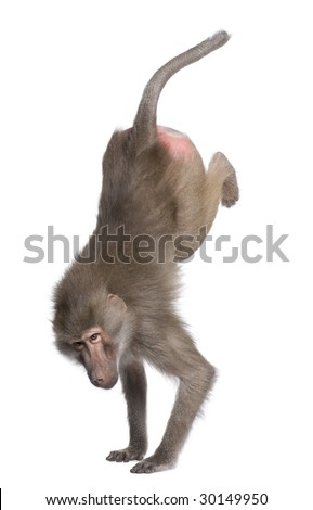 Baboon performing a handstand -  Simia hamadryas in front of a white background