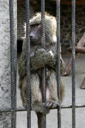 Baboon - Simia hamadryas. Monkey grimaces in the cage of zoo.