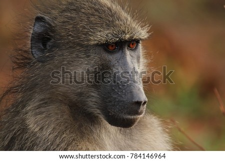 Baboon sitting next to the road side trying to avoid eye contact with me.