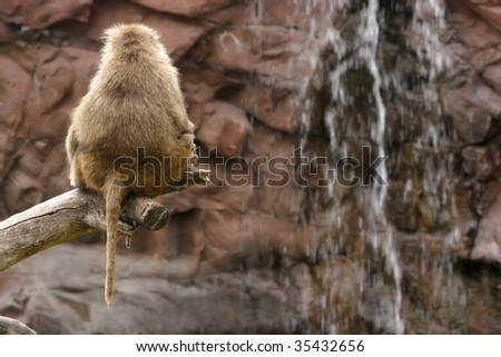 Baboon sitting on a branch and watching a waterfall.