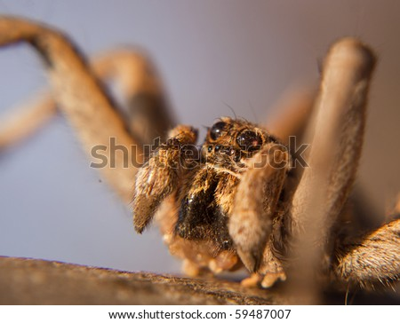 Baboon Spider Close Up, Ceratogyrus