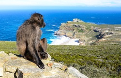 Baboon waiting