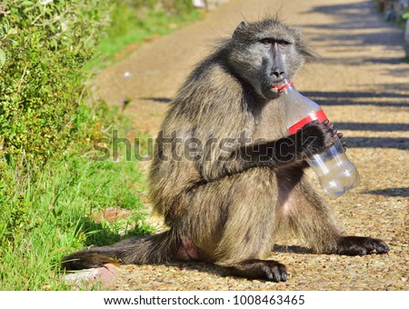 Baboon with bottle. The Chacma baboon (Papio ursinus), also known as the Cape baboon.