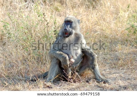 Baboon with her baby in the Kruger Park, South Africa.