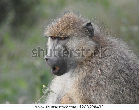 Baboons of Kenya #1263298495