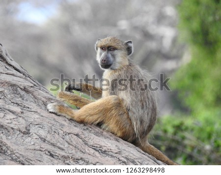 Baboons of Kenya #1263298498