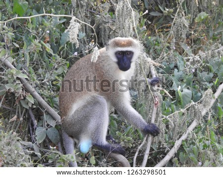 Baboons of Kenya #1263298501