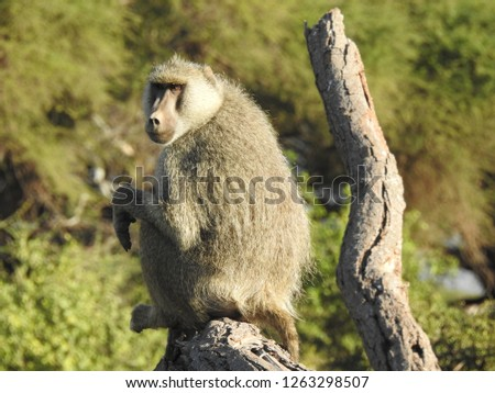 Baboons of Kenya #1263298507