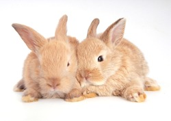 Baby adorable rabbit on white background. Young cute bunny in many action and color. Lovely pet with fluffy hair. Easter brown lovely small rabbit as twin