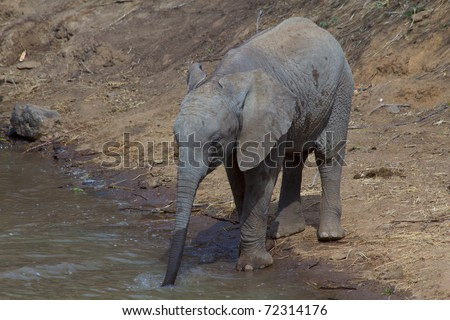 Baby African Elephant drinking at Waterhole - stock photo