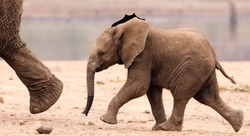 Baby African Elephant Running after Mom
