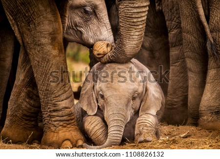 Baby African elephant under the protection of the adults in the herd