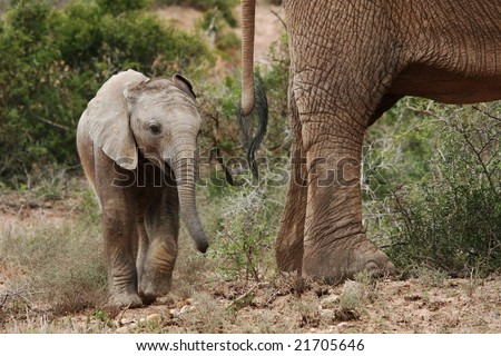 Baby African elephant walking behind it's mother