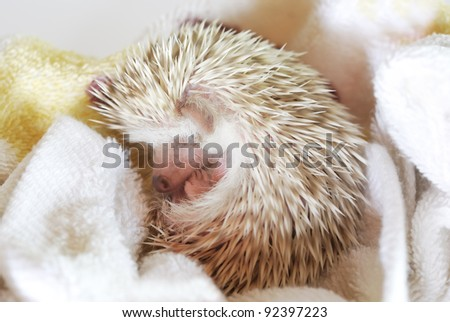 baby african pygmy hedgehog
