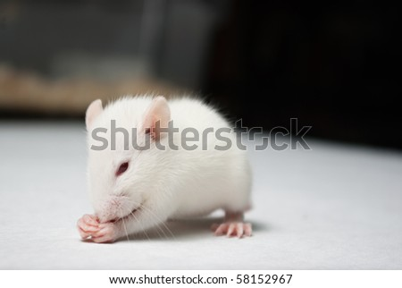 baby albino rat on white paper in lab