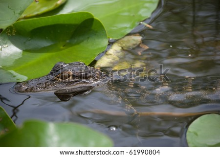 Baby alligator in a swamp