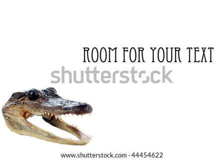 baby alligator or crocodile head isolated on white with room for your text