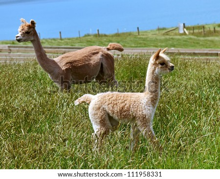 Baby alpaca with her mother in the green grass
