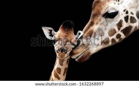 Baby And Mom Giraffe Playing Foto stock ©