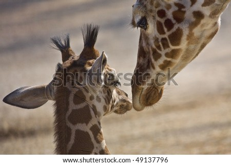 Baby and mother giraffe