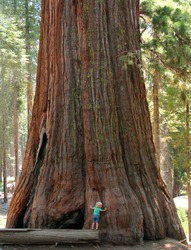 Baby and the Giant. Little toddler girl hugging the giant sequoia. Man and the Nature concept.