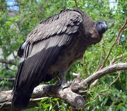 Baby Andean condor Vultur gryphus is a South American bird in the New World vulture family Cathartidae and is the only member of the genus Vultur.