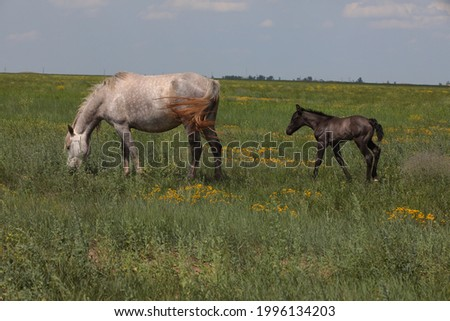 Baby animal small newborn foal with mother horse in a wild green field in summer.A mare of light white color with piebald spots eats grass.Feeding.Wildlife background Foto stock ©