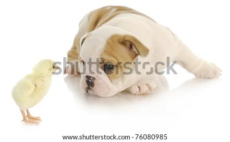 baby animals - newborn chick and bulldog puppy on white background - stock photo