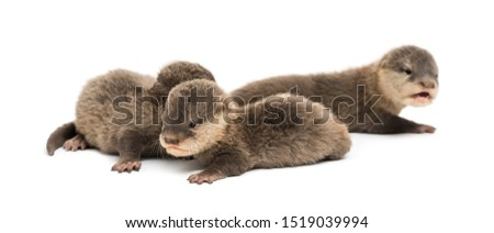 Baby Asian small-clawed otters, Amblonyx cinerea, also known as the oriental small-clawed otters or simply small-clawed otters lying against white background