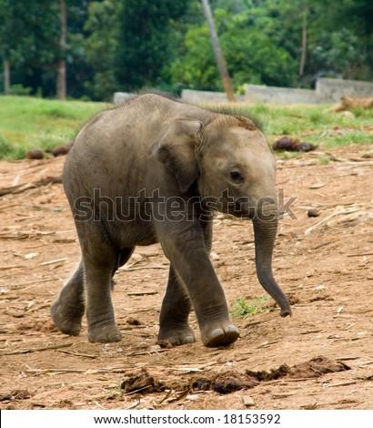 Baby Asiatic elephant
