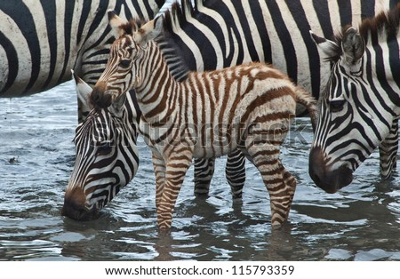 Baby at the Lake / A baby zebra walks in the water hole as his herd stands near by.