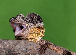 Baby Australian frilled neck lizard