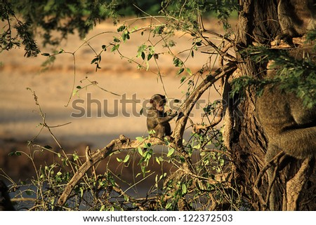 Baby baboon sat in a tree Kenya Africa