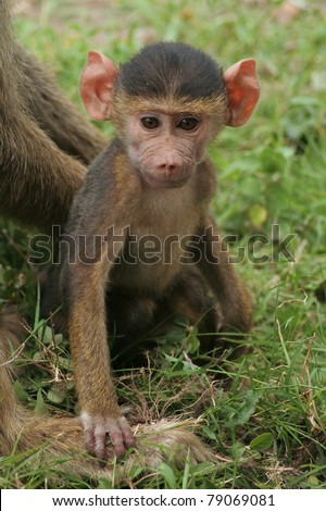 Baby baboon sitting in the Kenyan grassland with mother