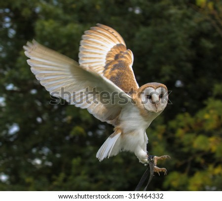 Baby Barn Owl in flight