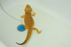 Baby bearded agama bathing in the bathroom in clear warm water near drain stopper, closeup view. Exotic domestic animal, pet. The content of the lizard at home. Cute amazing animal from Australia.