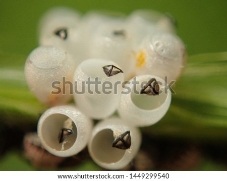 Baby Beatles called Predatory Stink Bugs that just hatched out of eggs. #1449299540