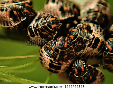 Baby Beatles called Predatory Stink Bugs that just hatched out of eggs. #1449299546