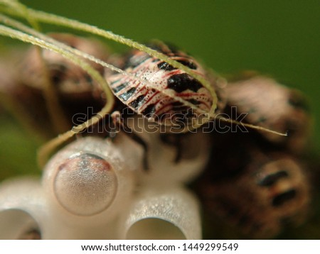 Baby Beatles called Predatory Stink Bugs that just hatched out of eggs. #1449299549