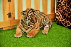 Baby bengal tiger has taken care by the zookeeper