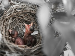Baby Bird a few days can't open the eyes, waiting they's Mom take for foods in their nests.