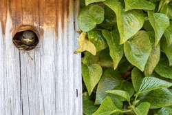 Baby bird. Cute Wren chick looking out from a home-made wooden nest box next to green ivy. Typical country cottage wall garden wildlife and nature image. Close-up countryside garden nature image.